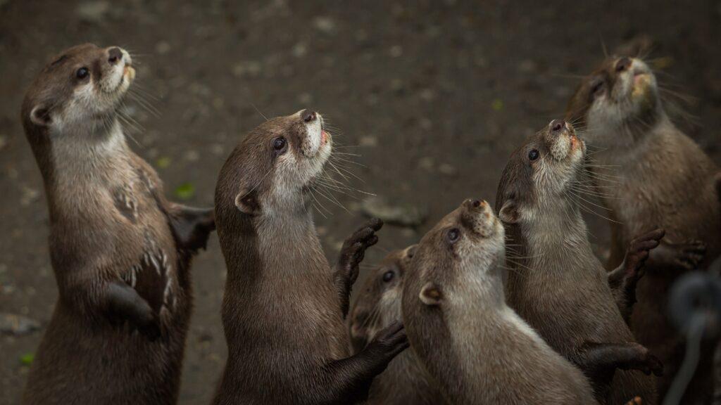 NZ Otters