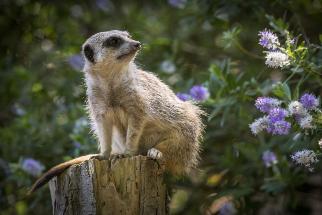NZ meerkat