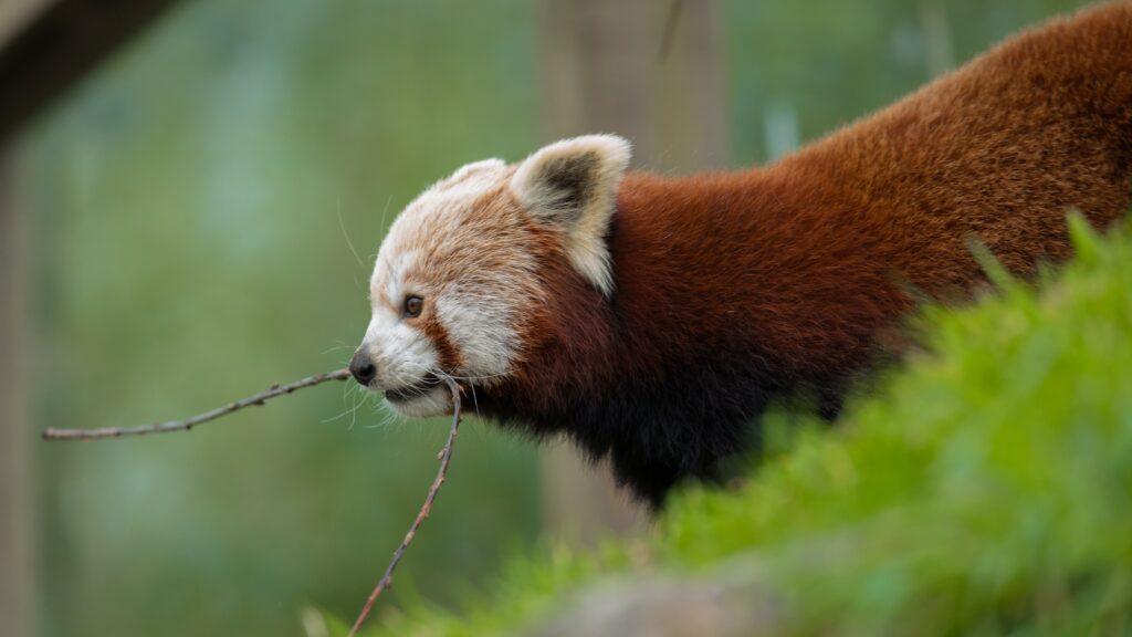 NZ red panda