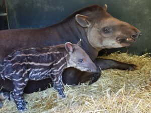 Baby tapir 2 NZ