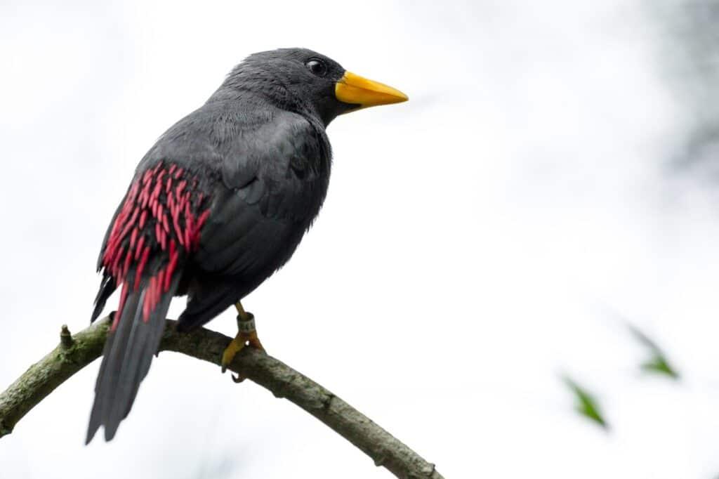 Grosbeak starling web