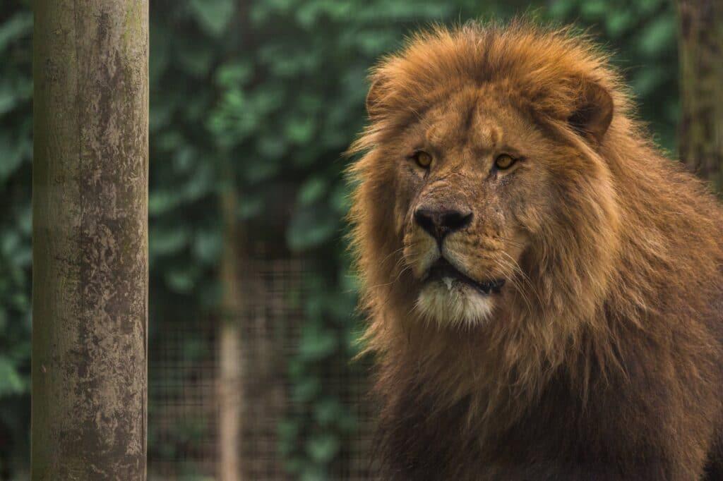 Lion 6 CT 1