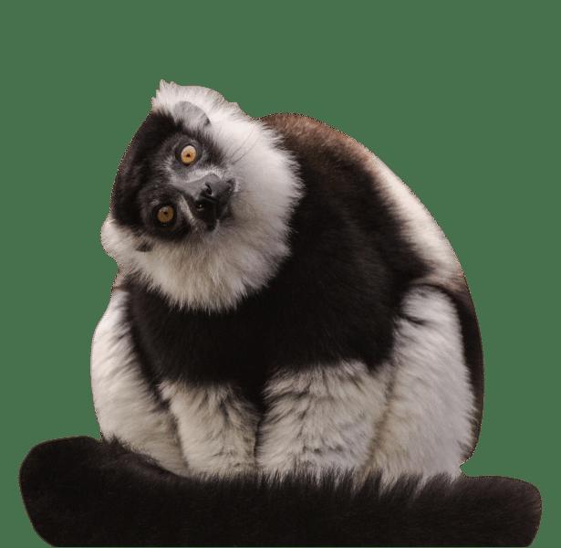 NZ B W ruffed lemur cropped