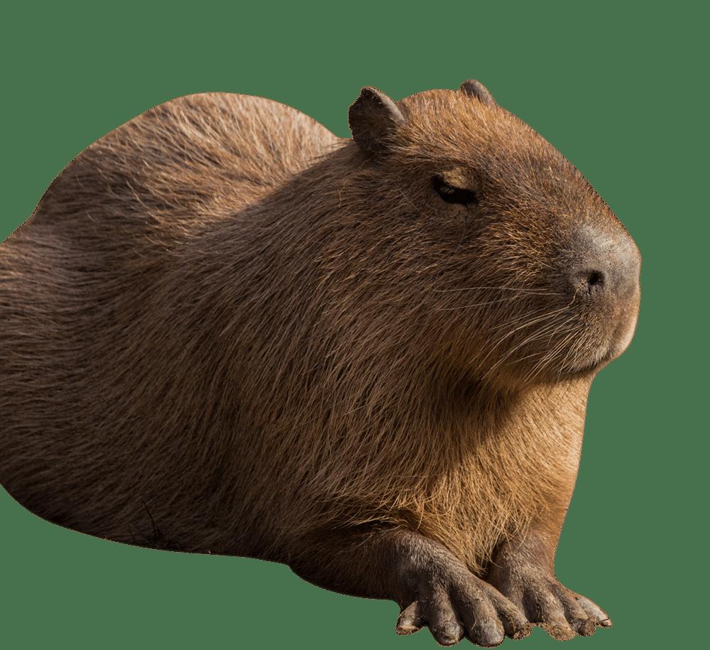 NZ Capybara cropped 1