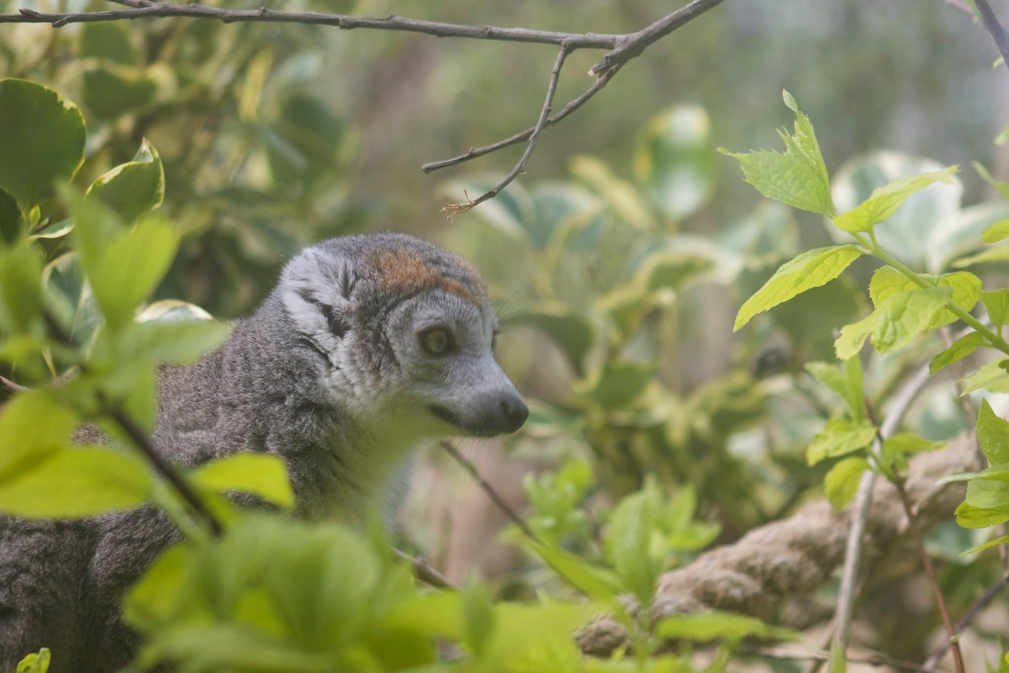 NZ Crowned lemur
