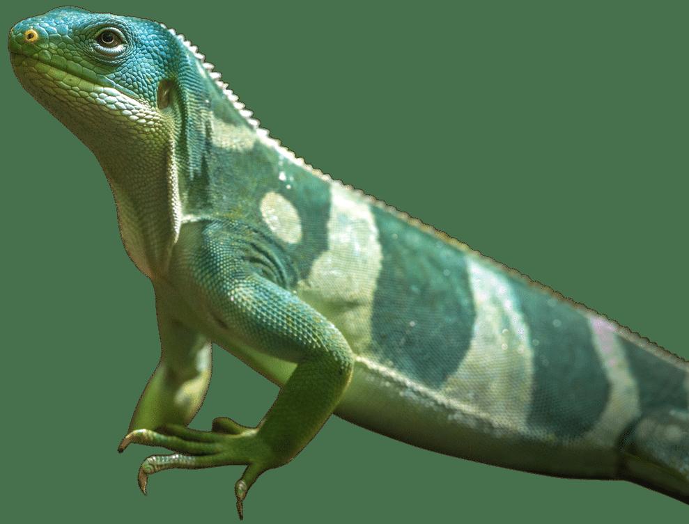 NZ Fijian Iguana