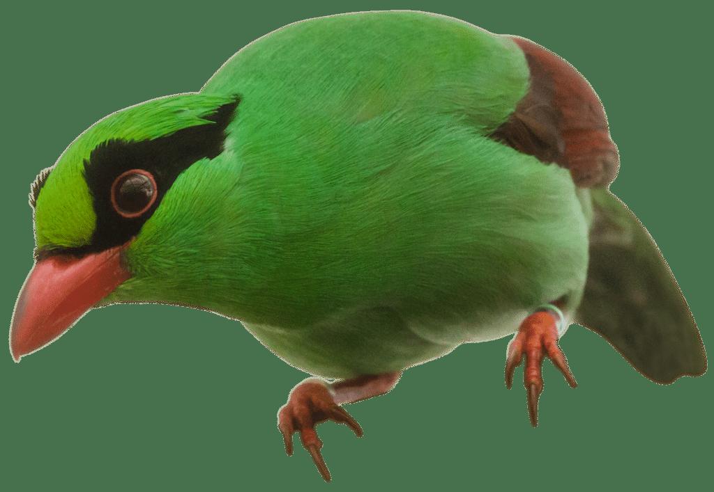 NZ Javan Magpie