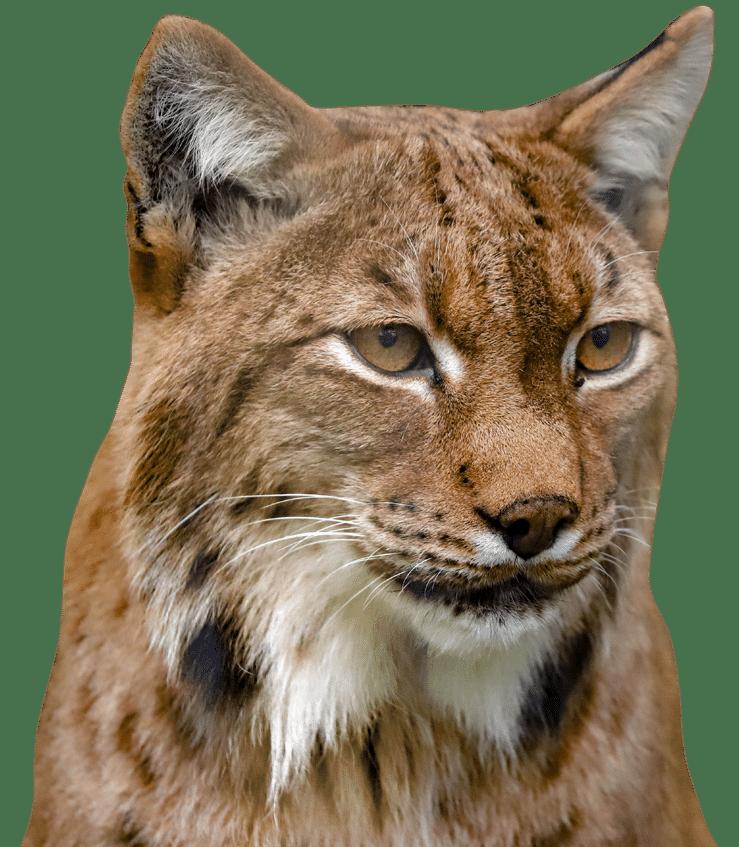 NZ Lynx 1
