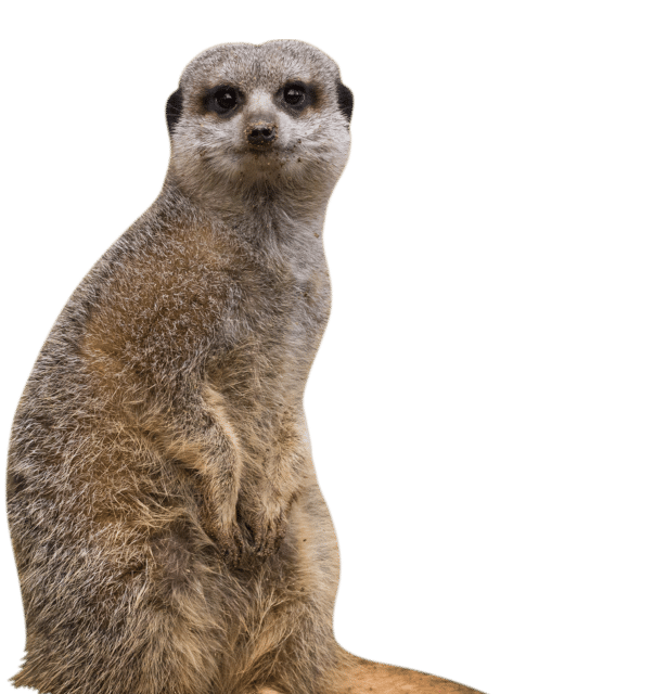 NZ Meerkat cropped