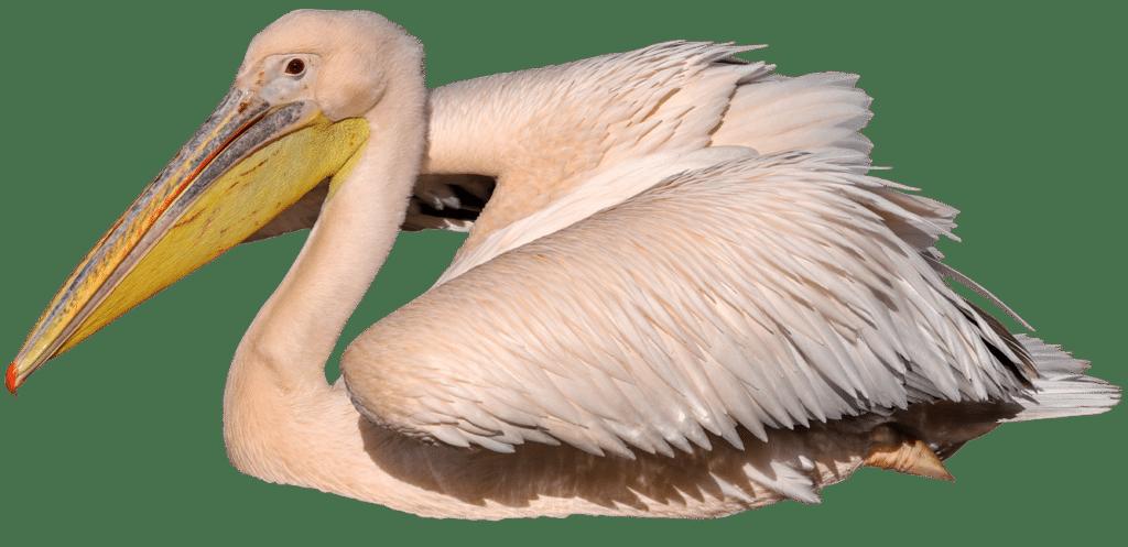 NZ Pelican 1