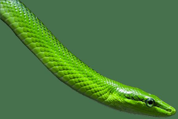NZ Racer Snake