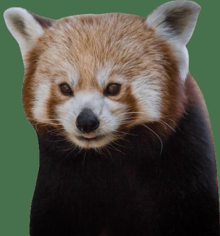 NZ Red Panda e1624367625249