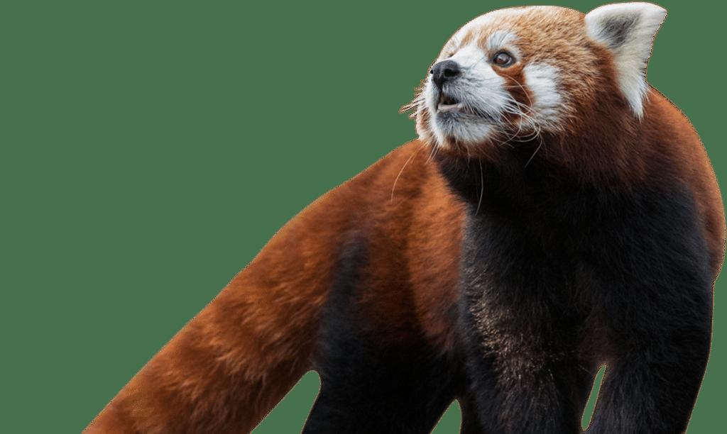 NZ Red Panda1 1