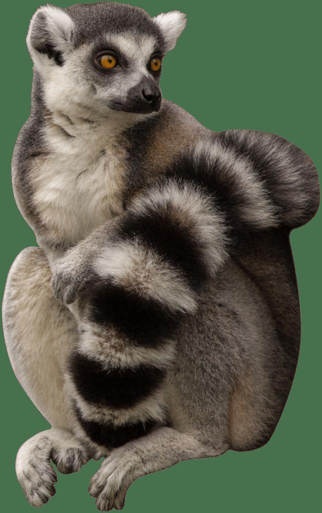 NZ Ring Tailed Lemur