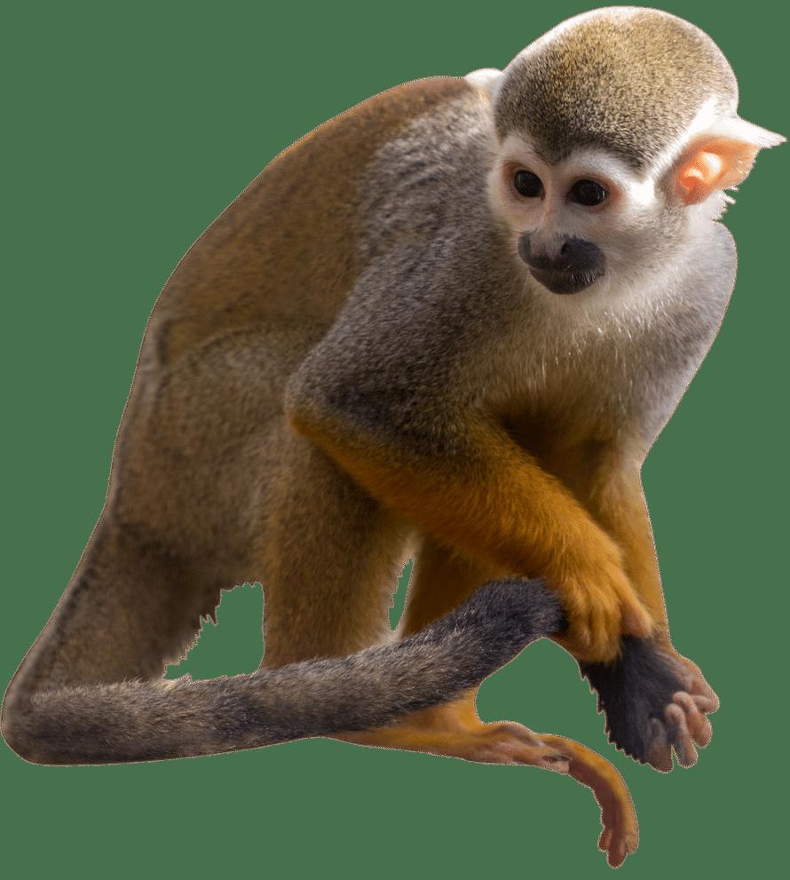 NZ Squirrel Monkey