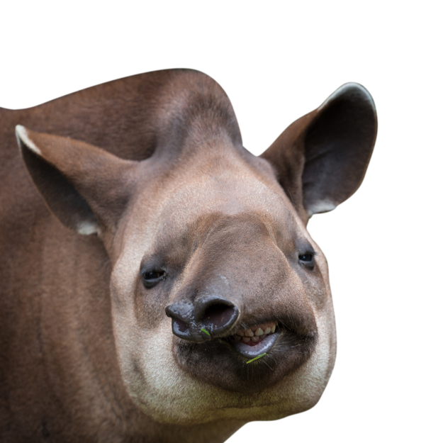 NZ Tapir cropped
