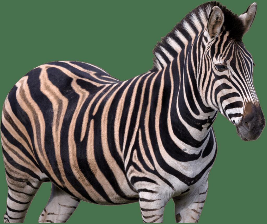 NZ Zebra