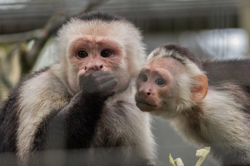 NZ capuchin