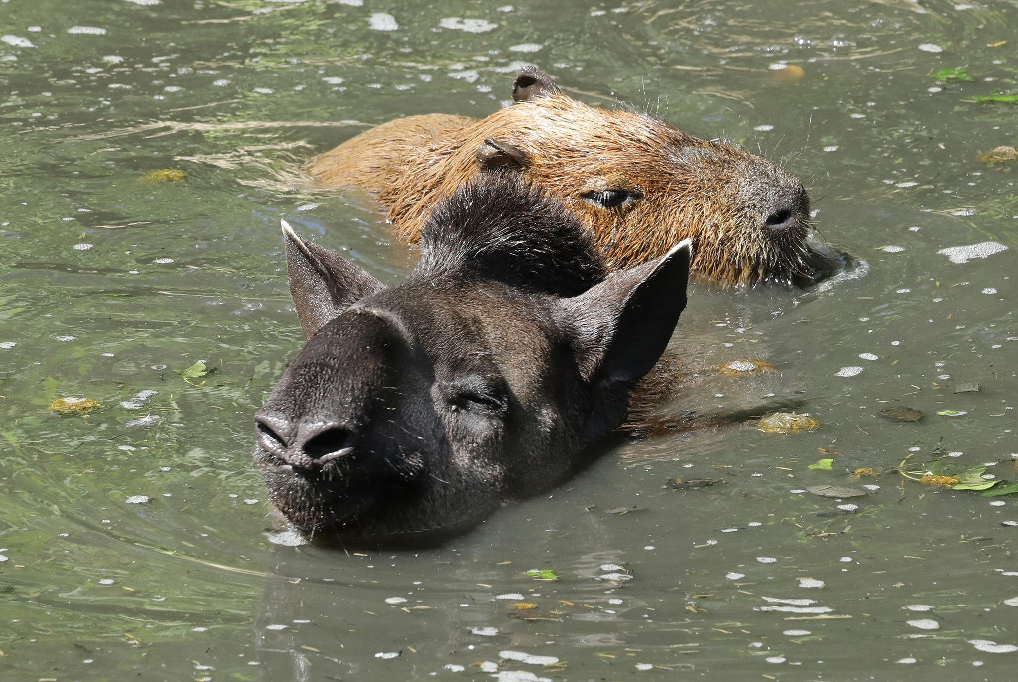 NZ tapir and cpy