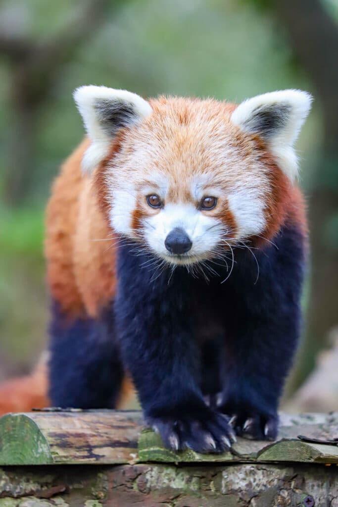 Red panda at Newquay Zoo