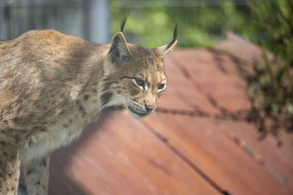 NZ Lynx 05 21 ONB LR