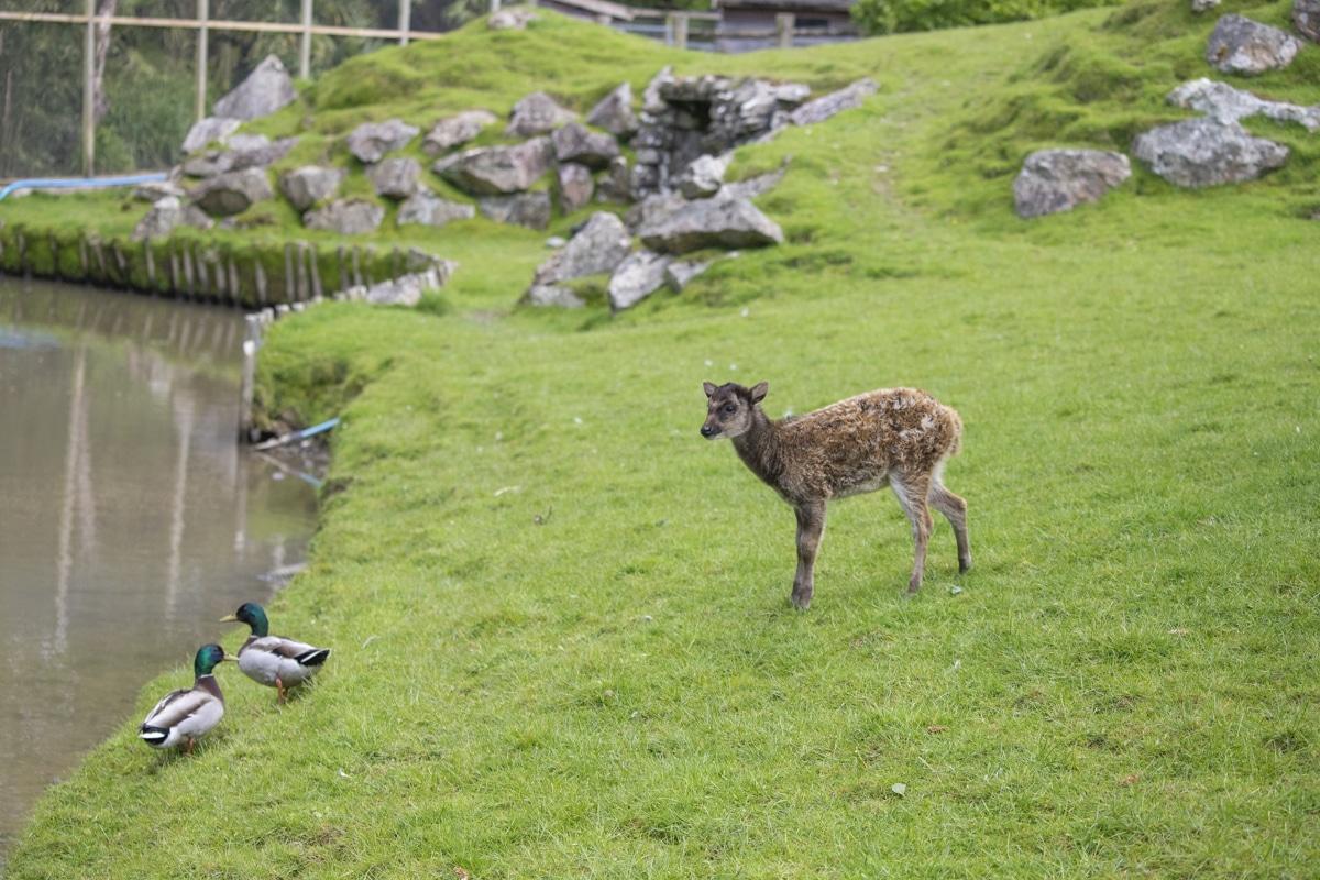 NZ Philippine Deer 05 21 ONB LR 3
