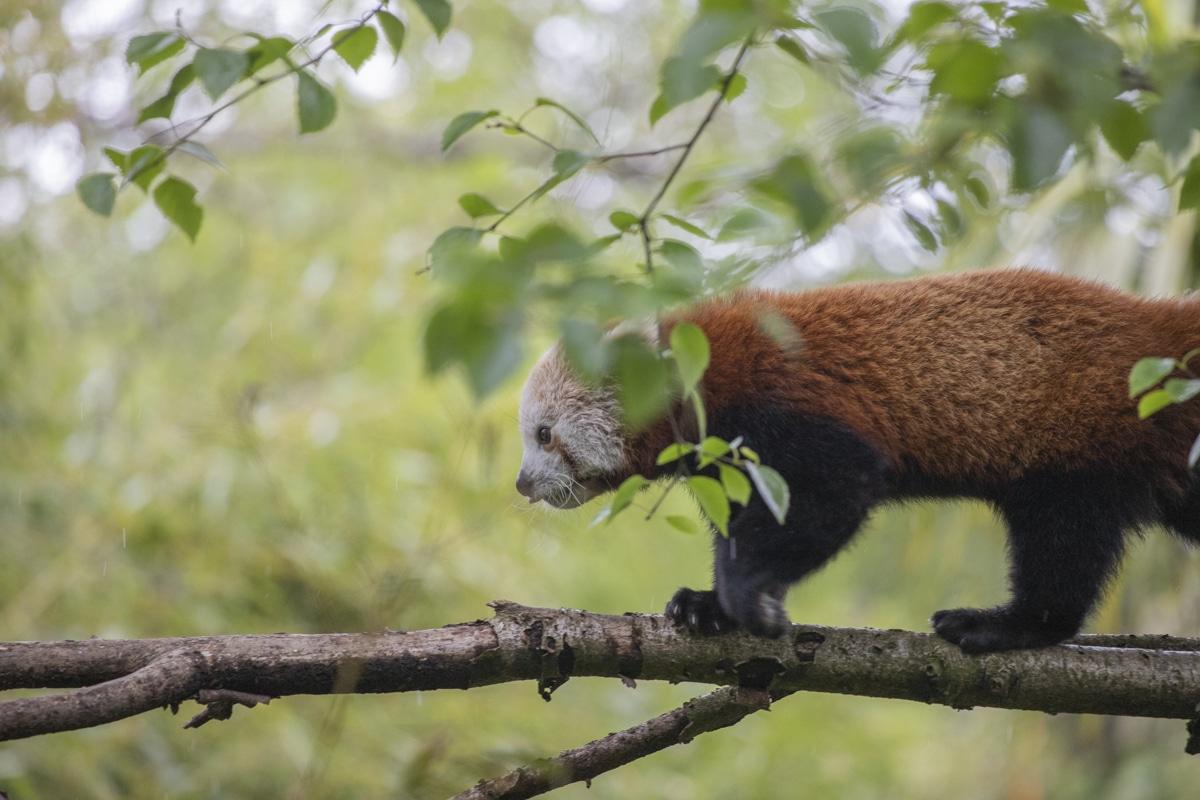 NZ Red Pandas 05 21 ONB LR 2