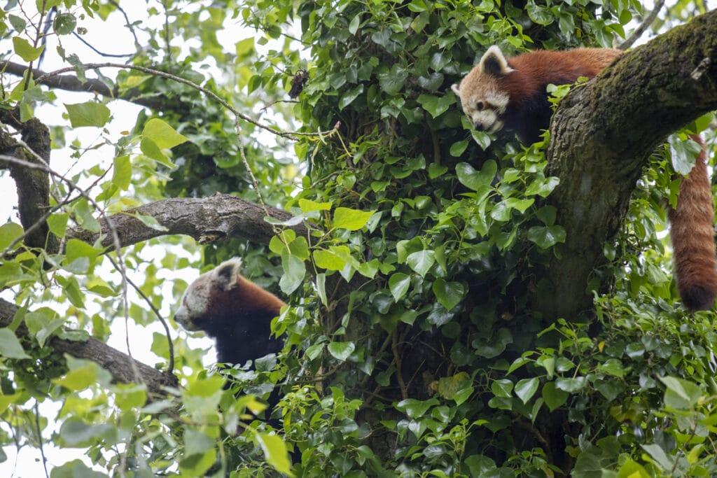NZ Red Pandas 05 21 ONB LR 4