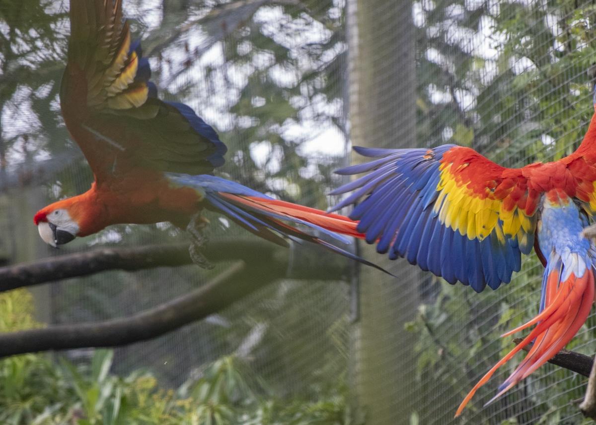 NZ Scarlet Macaw 05 21 ONB LR 18