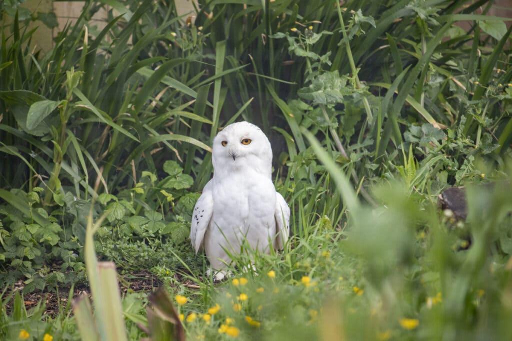 NZ Snowy Owl 05 21 ONB LR 3