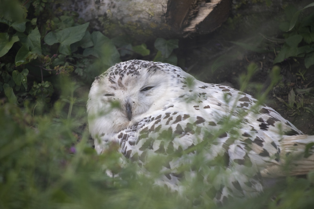 NZ Snowy Owl 05 21 ONB LR 4