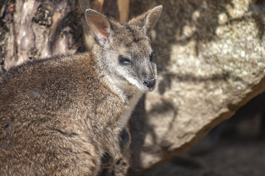 NZ Wallaby paddy 05 21 ONB LR 3
