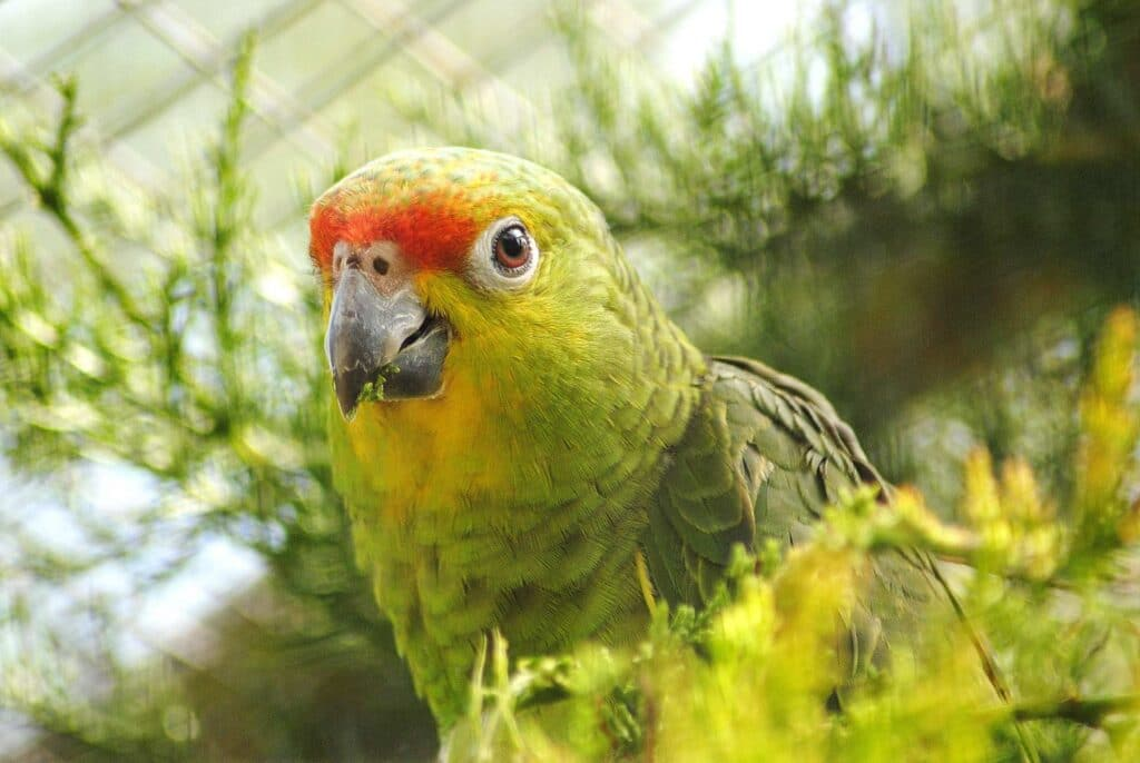 Red Lored Amazon Parrot WEB 3