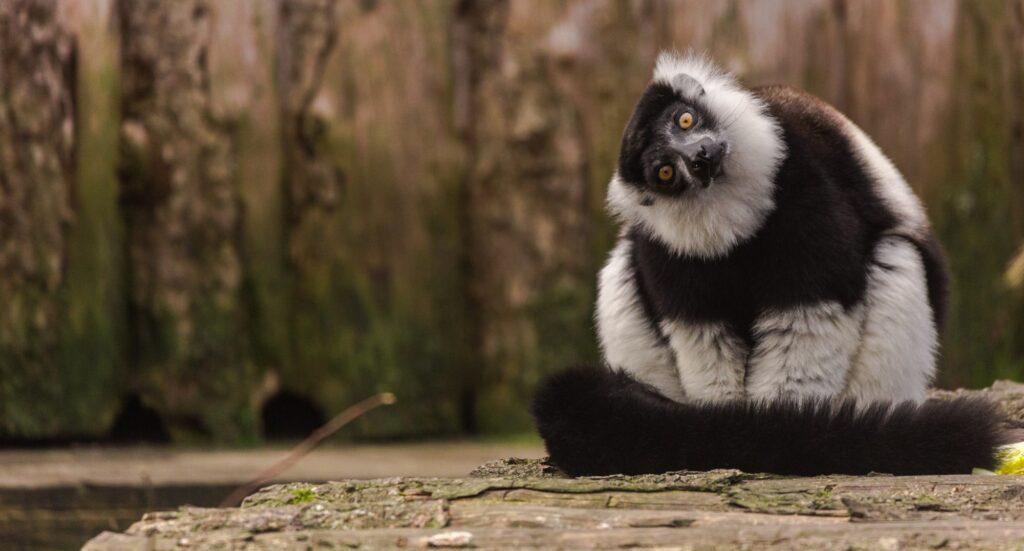 black and white ruffed lemur 2
