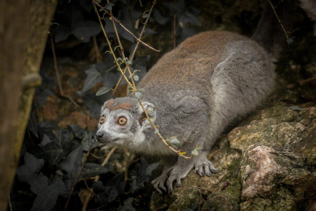 crowned lemur2