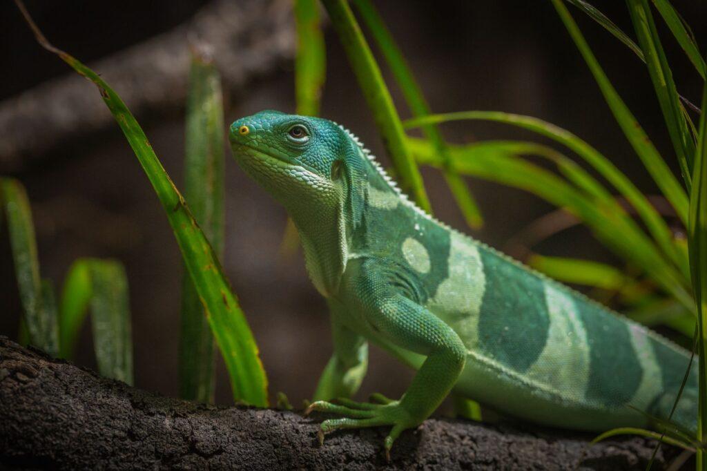 fijian iguana 2