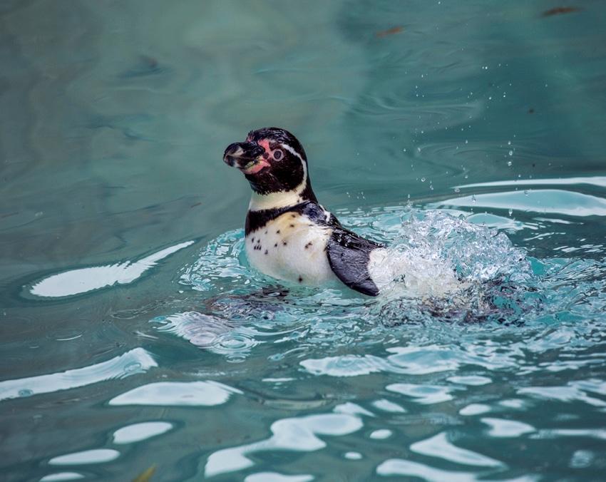 humboldts penguin splashing around USE 1