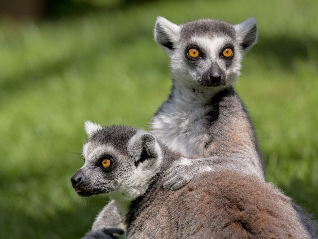 lemurs 2