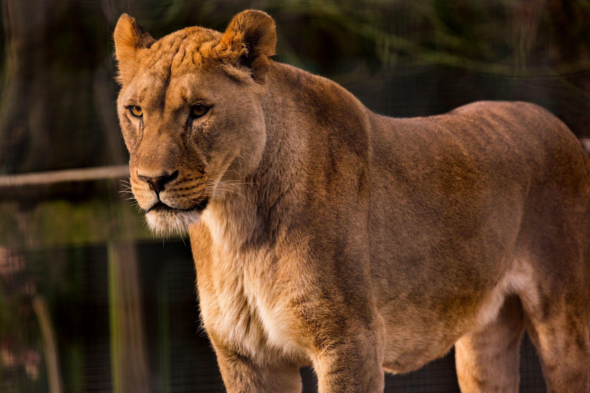 lions6