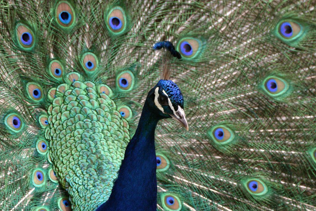 mark parkinson peacock