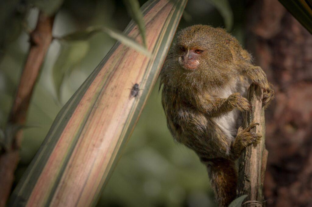 pygmy marmoset 3
