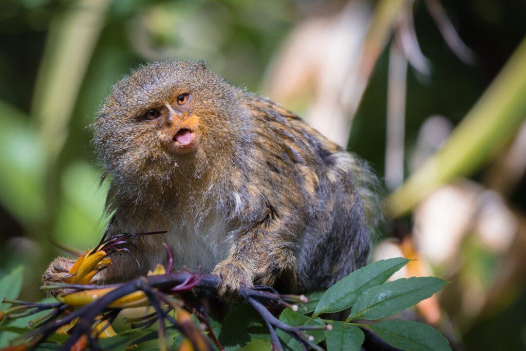 pygmy marmoset 7