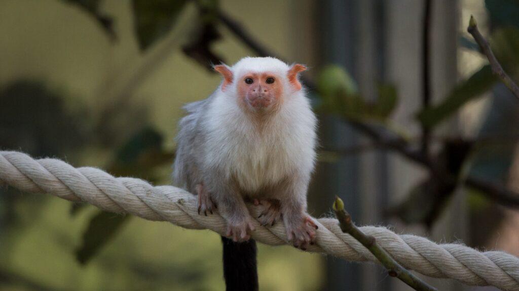 silvery marmoset 13