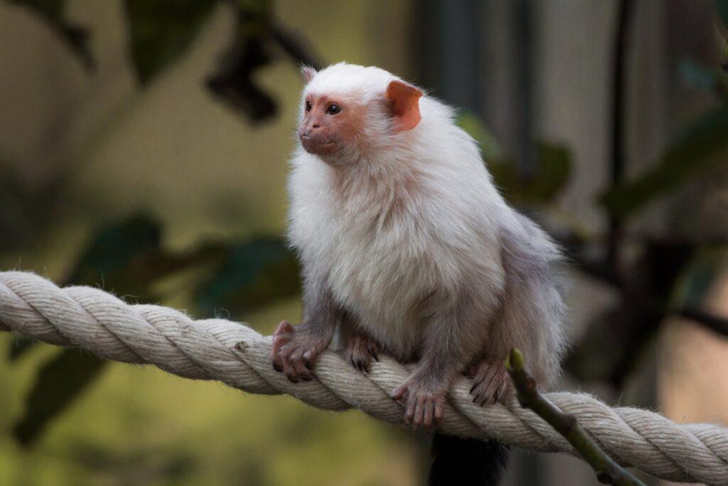 silvery marmoset 15