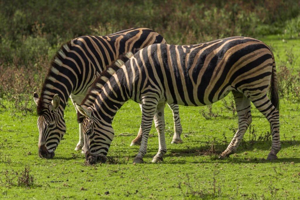 zebra min