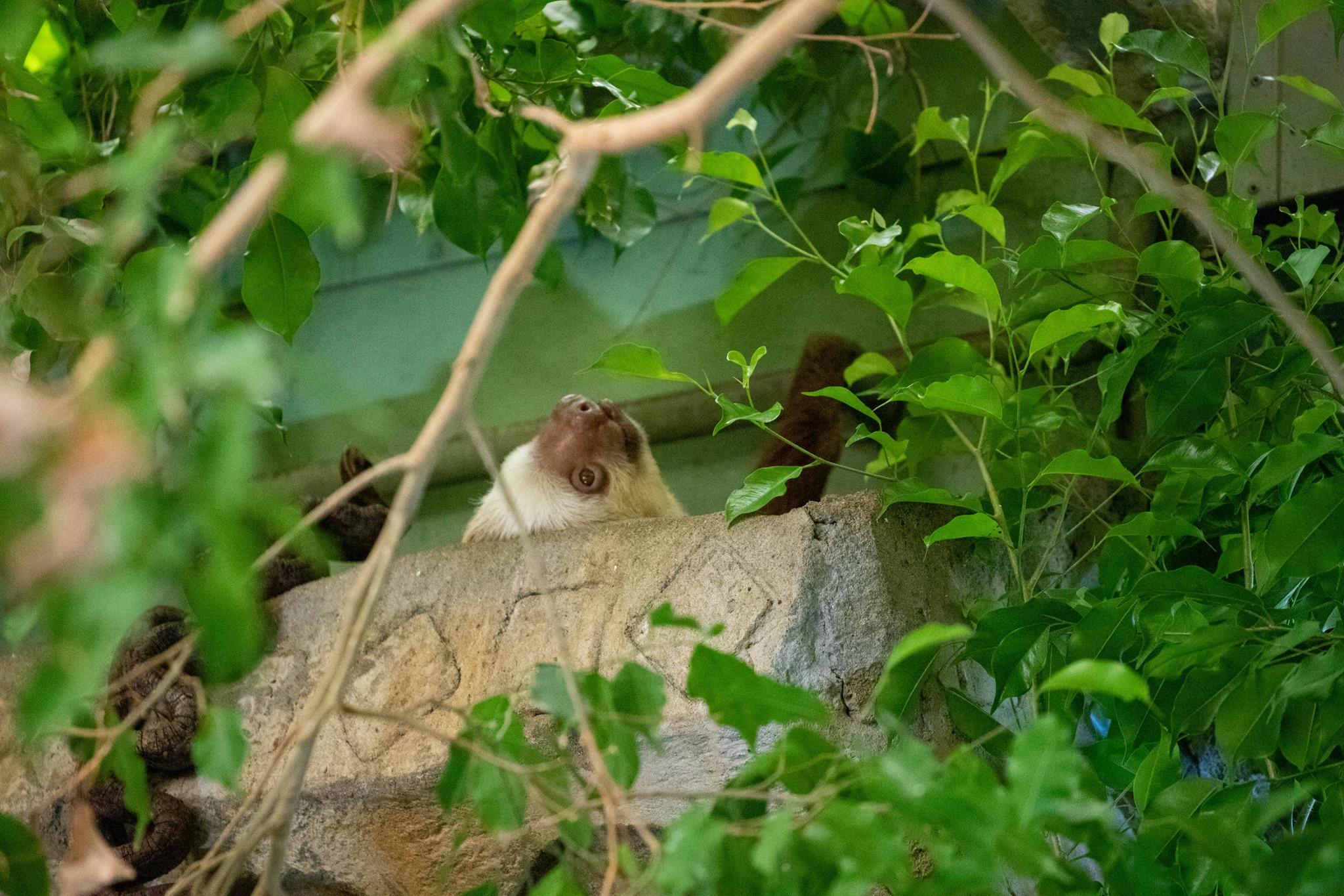 NZ Sloth Hadar