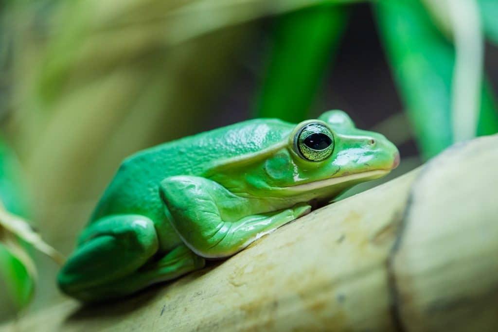 Thao Whipping Frog Rhacophorus feae Jan 2019 LR 22